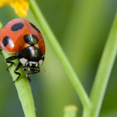 biodiversità coccinella insetti